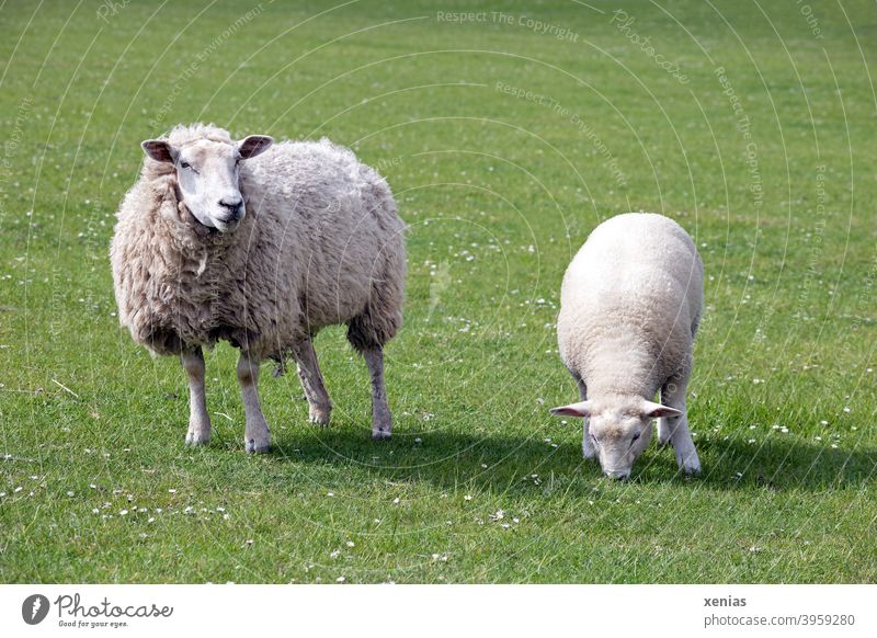 Ewe and lamb standing on a green meadow Sheep Lamb Willow tree Meadow Animal Green Wool Farm animal Keeping of animals Grass Agriculture mutiny Animal portrait