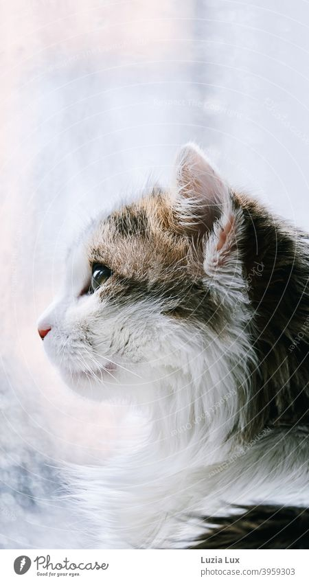 Portrait of a cat, long-haired mackerel sits in front of the balcony door and watches the rain outside Cat hangover portrait Cat portrait Profile Animal Pet