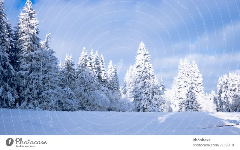 Winter forest is illuminated by the sun Day Colour photo Nature Exterior shot Landscape Climate Deserted White conifers Coniferous forest chill Frost Cold