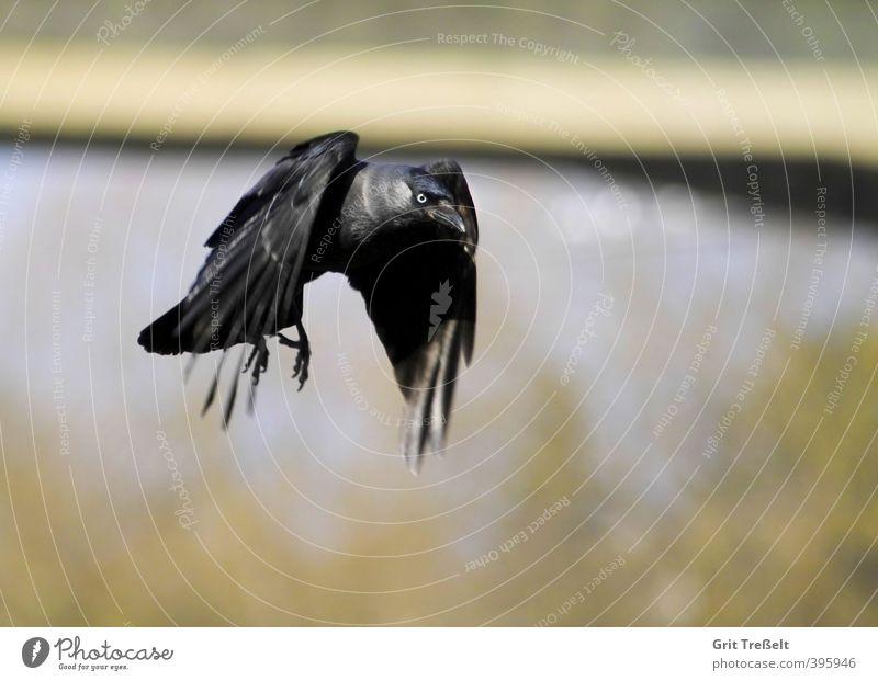 Blue Animal Black Bird Flying Wild animal Wing