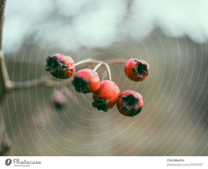 Red Berries Fruit Close-up Colour photo Nature Exterior shot Deserted Shallow depth of field Detail Wild plant Autumn Bushes naturally Copy Space bottom