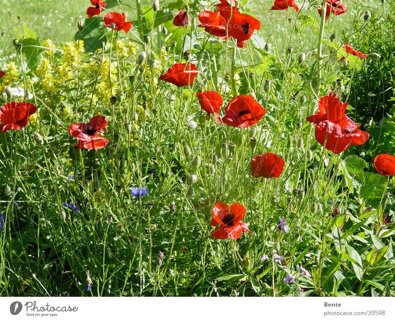 Flower Green Summer Blossom Grass Poppy Weed
