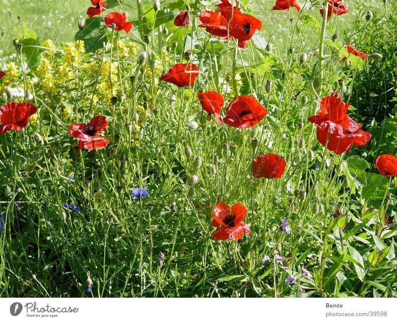 summer meadow Poppy Summer Blossom Grass Flower Green Weed