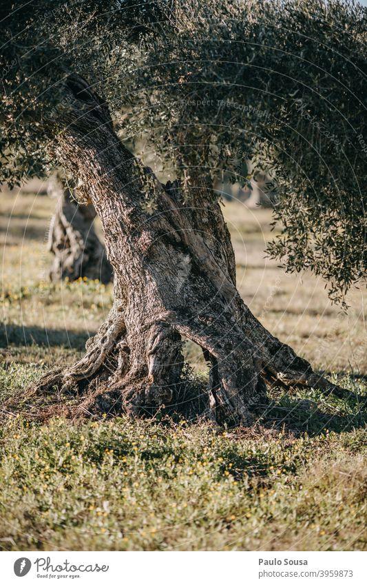 Old Olive Tree trunk Olive tree Ancient Mediterranean Portugal Olive leaf Landscape Green Plant Day Colour photo Exterior shot Olive grove Nature Deserted