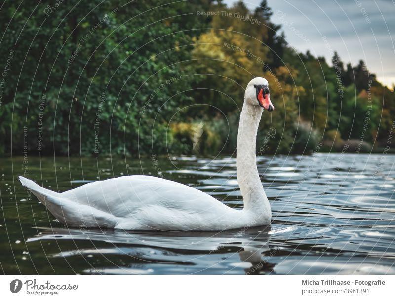 Swan in the lake Cygnus olor Mute swan Lake Bird Wild animal Animal face Head Beak Grand piano Neck Feather Eyes Plumed Near Close-up Exterior shot Evening