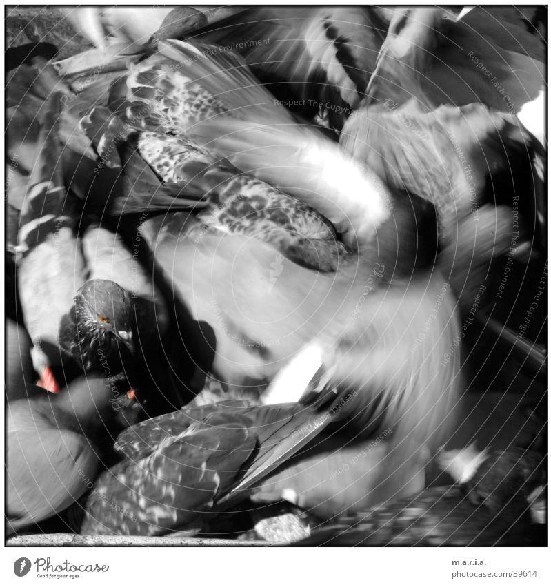 Animal Movement Bird Flying Chaos Muddled Fight Pigeon