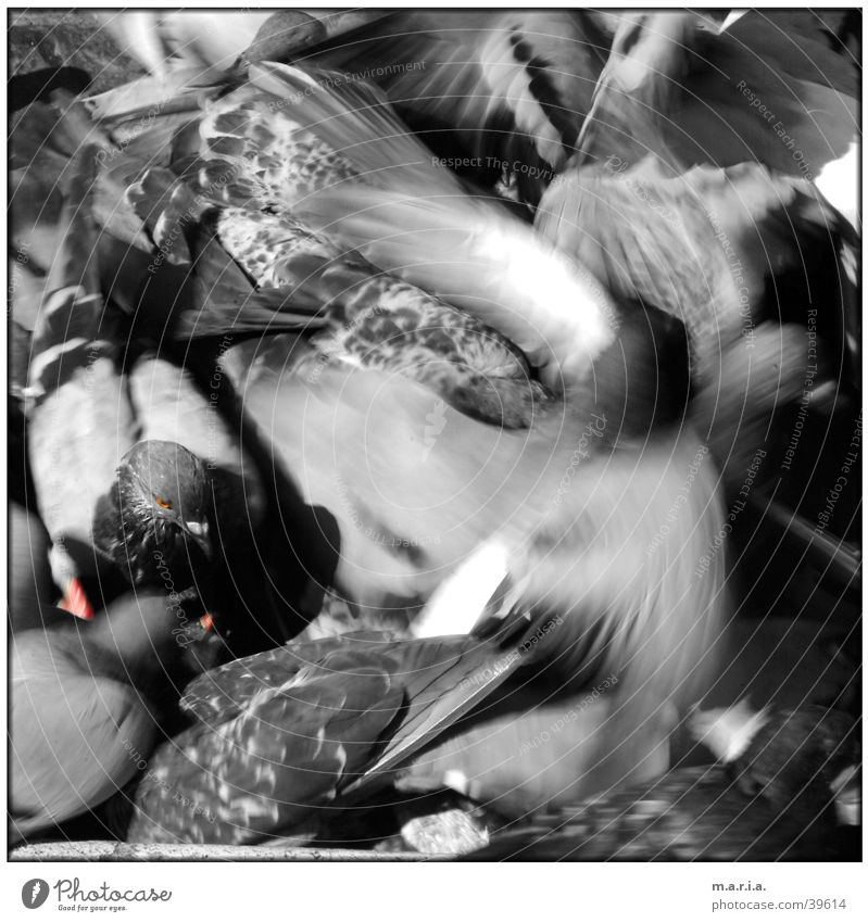 dove Pigeon Bird Animal Motion blur Muddled Chaos Fight Flying Movement