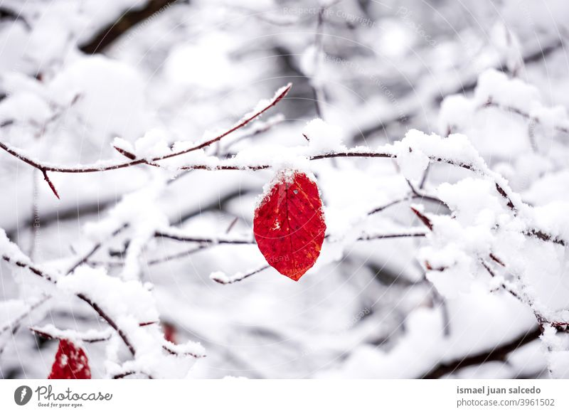 snow on the red leaf in winter season, cold days branches leaves nature natural textured fragility frost frozen frosty white ice wintertime cold temperature