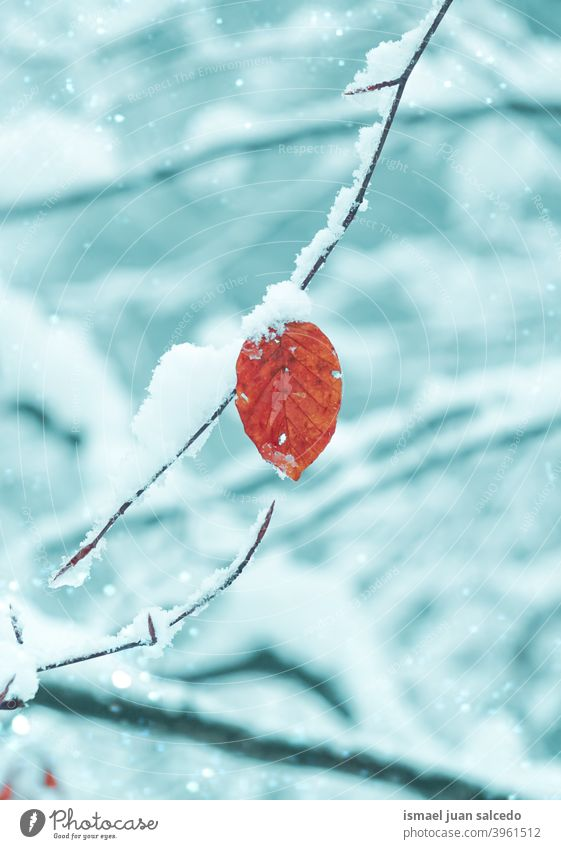 snow on the red leaf in winter season branches leaves nature natural textured outdoors beauty fragility frost frozen frosty white ice wintertime cold