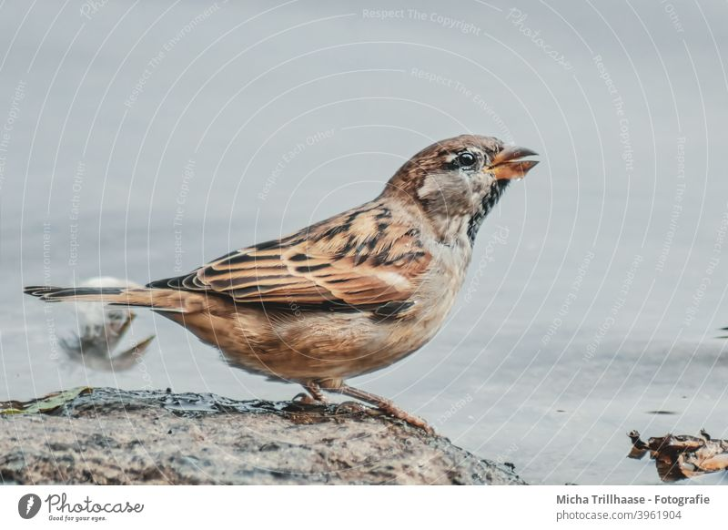 Drinking sparrow on the lakeshore Sparrow passer domesticus Animal face Head Beak Eyes Grand piano Feather Claw Bird Wild animal Thirst Thirsty Water Lake