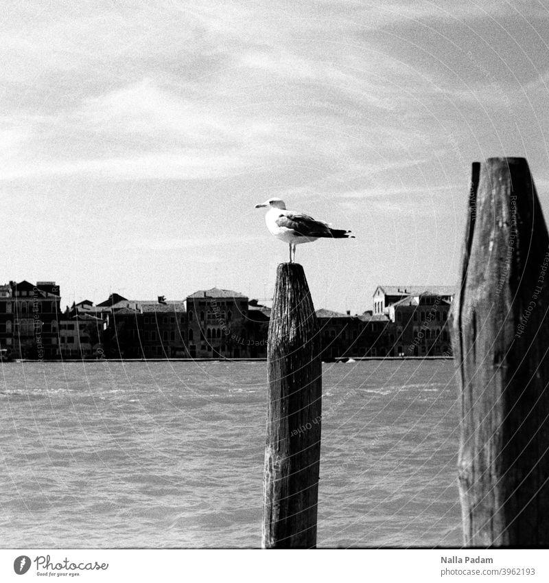 Venetian seagull on pole Analog Analogue photo black-and-white Seagull Water Venice lagoon city stake Architecture Sky Looking Venezia Exterior shot