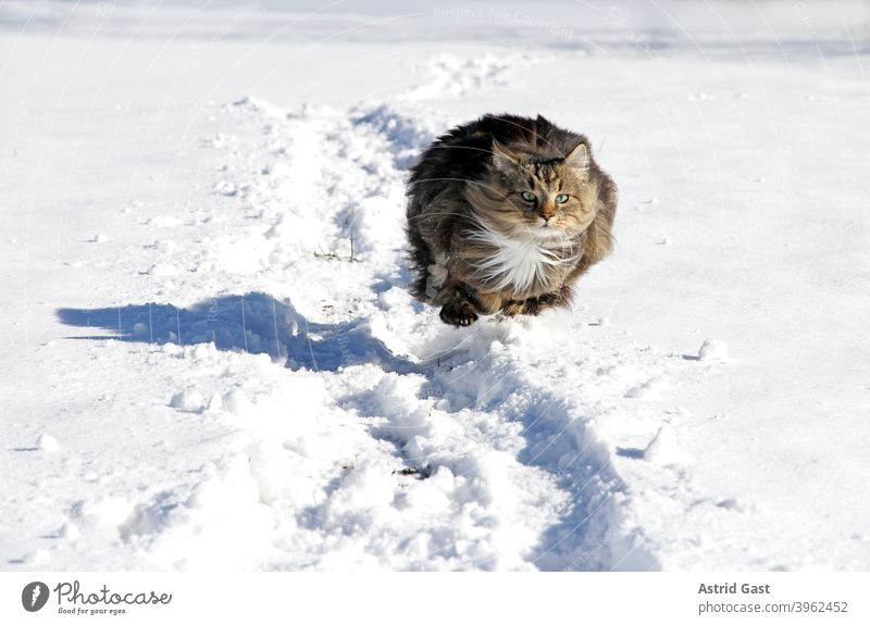 A female Norwegian Forest Cat running and jumping through the snow in winter Winter Snow Walking Going Running Playing active Movement hunting Hunting out