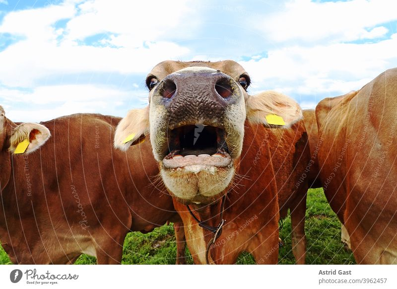 Funny cow photo with astonished cow with open mouth cows Cow brown cattle To talk wittily Comical dairy cows Herd Cattleherd Bavaria Willow tree Meadow