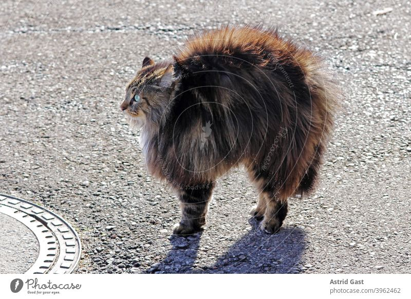 A female Norwegian Forest Cat feels threatened and makes a cat hump and puts all her hair up facial expression astonished Surprise Small Fat Brown Funny wittily