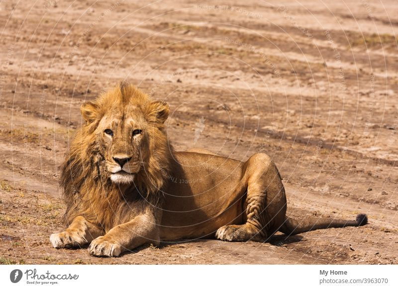 The big lion. Sandy savanna of Serengeti, Tanzania Africa african animal appalling beast big cat carnivore dangerous dominant fang feline field forest fur