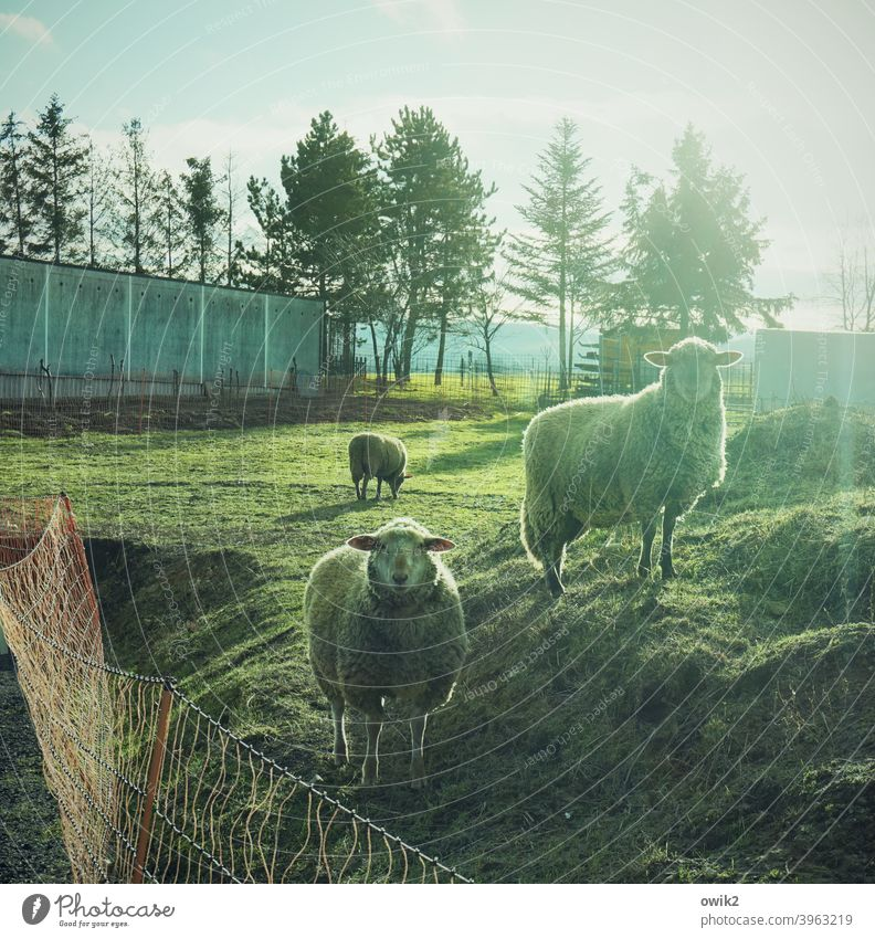Sheepmade Animal portrait Farm animal Idyll Peaceful Patient Calm Humble Together Caution Freedom Agreed Looking Hiking Discover Illuminate Plant Bushes To feed
