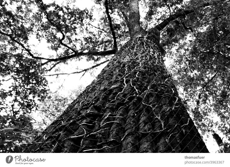 Tree overgrown by ivy, but lives on crushed Ivy Ivy vines Tree bark height Perspective Unwavering Branchage Sky Black & white photo climb Allegory branches