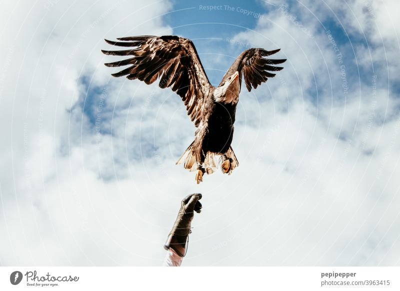 Bald eagle in flight from the hand of the falconer Bald Eagle Bird of prey Animal Beak Feather Exterior shot falconry Falconer falconer's glove Grand piano