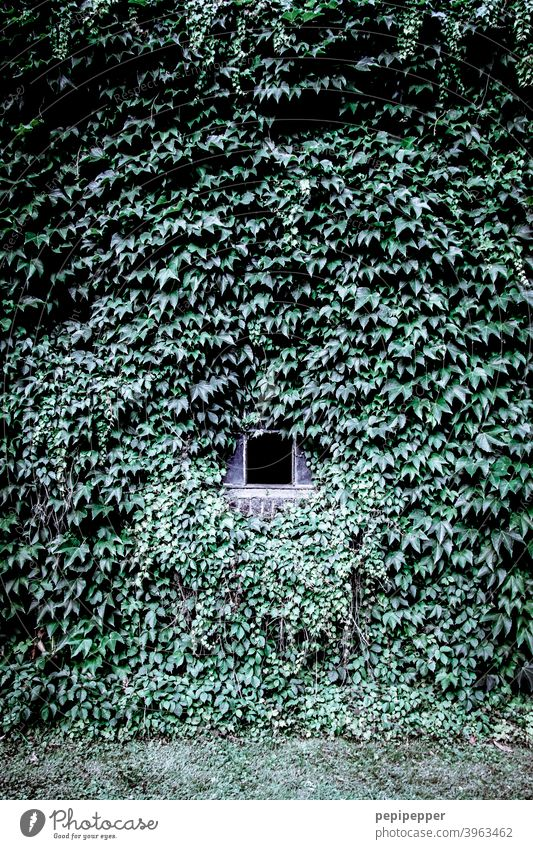 A house wall of ivy with small windows in the middle of it House (Residential Structure) Wall (building) house wall window Ivy ivy leaf ivy leaves Exterior shot