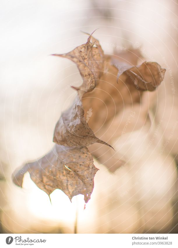 dead | Bizarre dry and curled up maple leaf in the backlight of the low sun Maple leaf Maple tree autumn leaf foliage Autumn Winter Transience transient