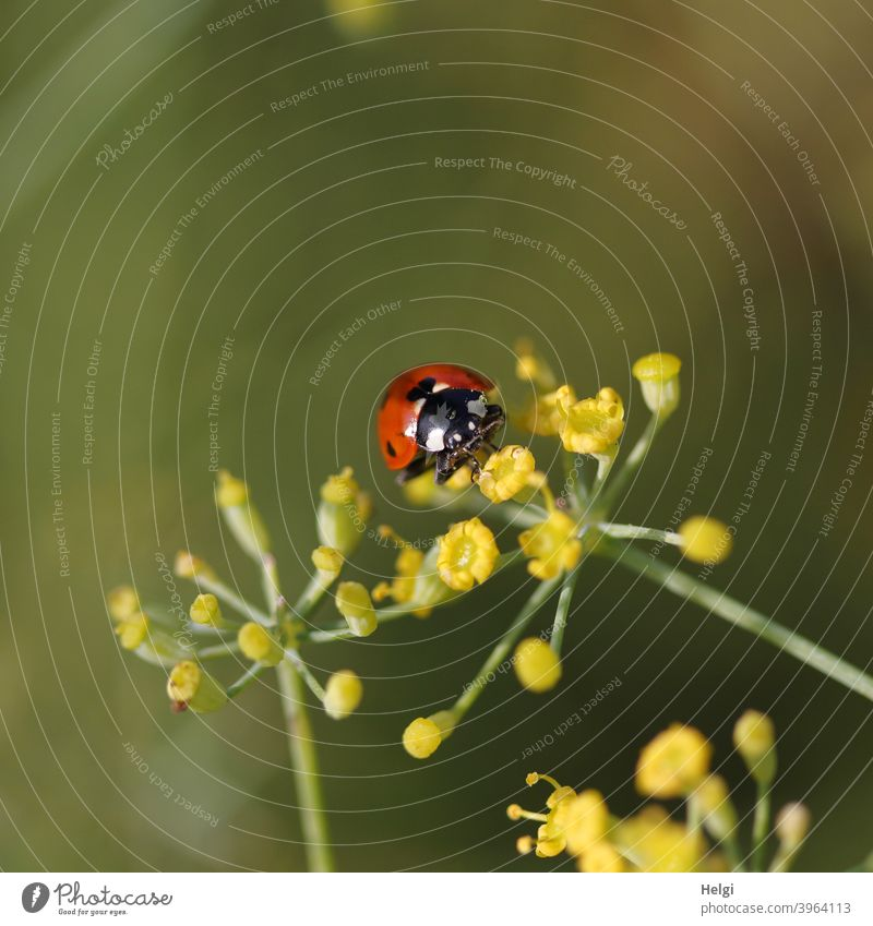 Ladybird on yellow fennel flower Beetle Insect Good luck charm Blossom fennel blossom Animal Happy Nature Exterior shot Colour photo Summer Plant Crawl Close-up