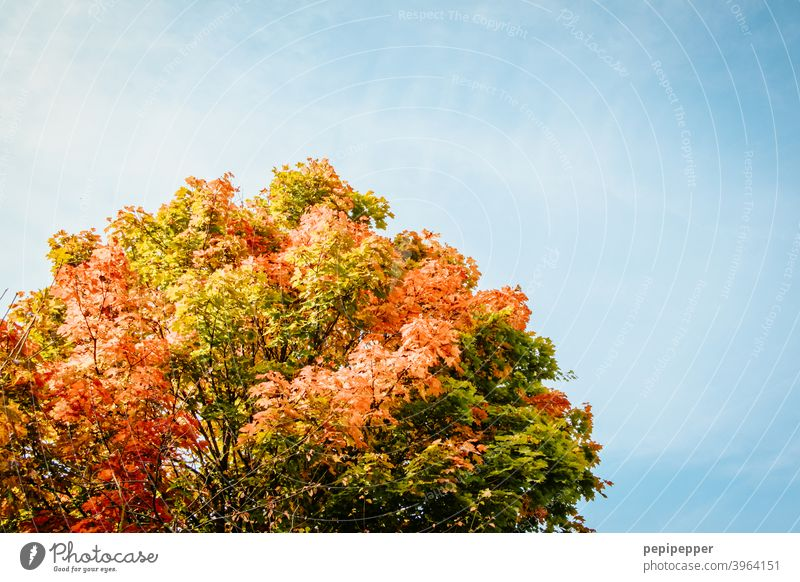 Autumn tree under beautiful blue sky Leaf Nature Tree Forest Exterior shot Colour photo Day Deserted Plant Environment Light Beautiful weather Multicoloured