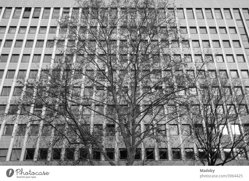 Big old tree without leaves in winter in front of the facade of a modern office building with many windows in the Westend of Frankfurt am Main in Hesse, Germany