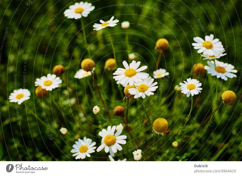 Chamomiles flowers closeup. Blossom field in summer day chamomile plant camomile green beautiful daisy beauty white background nature yellow spring herb floral