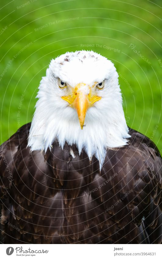 Beautiful bald eagle in frontal view | close up portrait White-tailed eagle Bald eagle Eagle Eagles eyes pretty Nature Animal Animal portrait Close-up Frontal