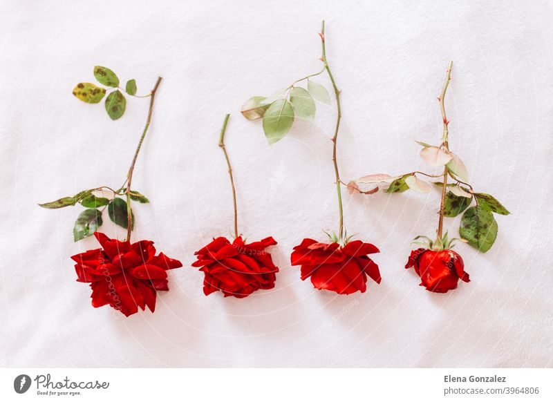 Red roses on a long stem with green leaves isolated on white snow background blooms greetings passion textures concepts horizontal colours invitation