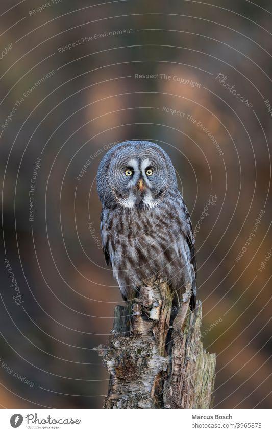 Bartkauz, Strix nebulosa, great grey owl Eule Eulen Eulenvogel Greifvoegel Greifvogel Kauz Raubvoegel Voegel animal animals bird birds eulenvoegel kaeuze