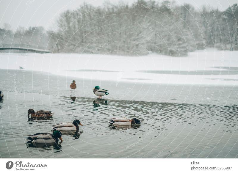 Ducks on a lake in a snowy landscape in winter ducks Winter Lake Snow Landscape Park Cold Water Ice Nature trees winter landscape Snowscape Gray White