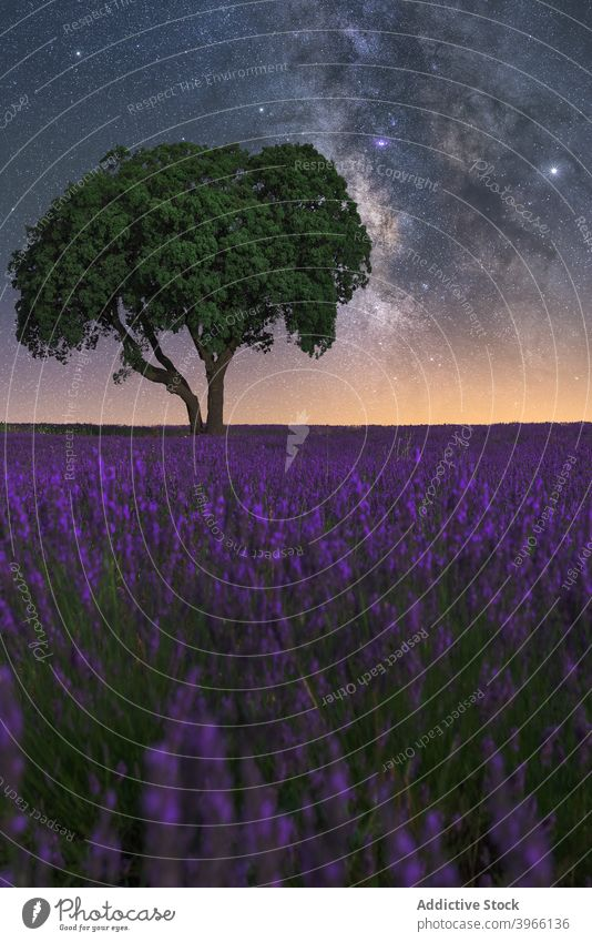 Milky Way over lavender field at night milky way starry sky landscape spectacular nature lonely tree purple flower scenic magnificent breathtaking amazing