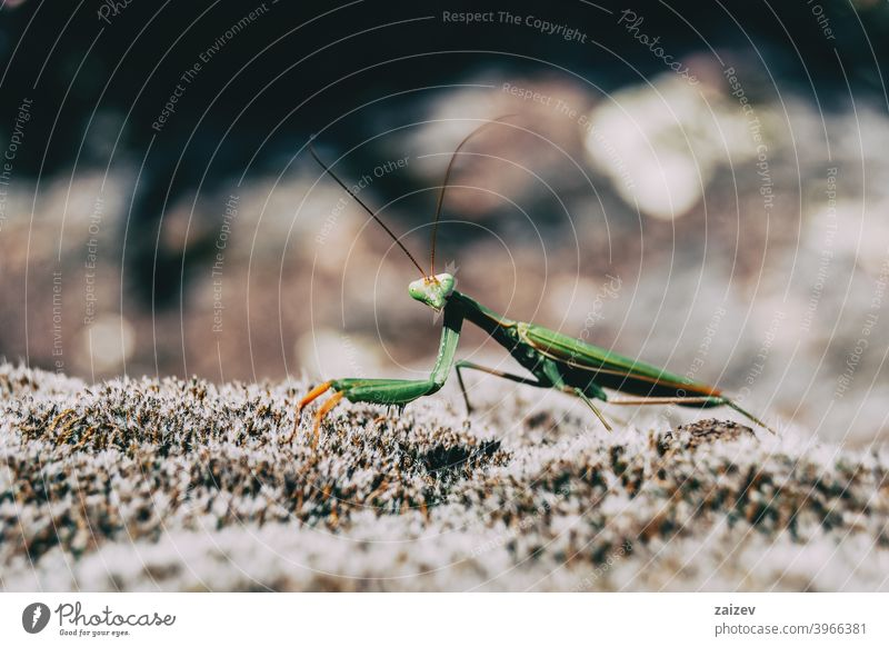 A green mantis on a rock mantodea praying mantis predator hunt alive length science eye life carnivore looking creature claw biology dangerous horror killer