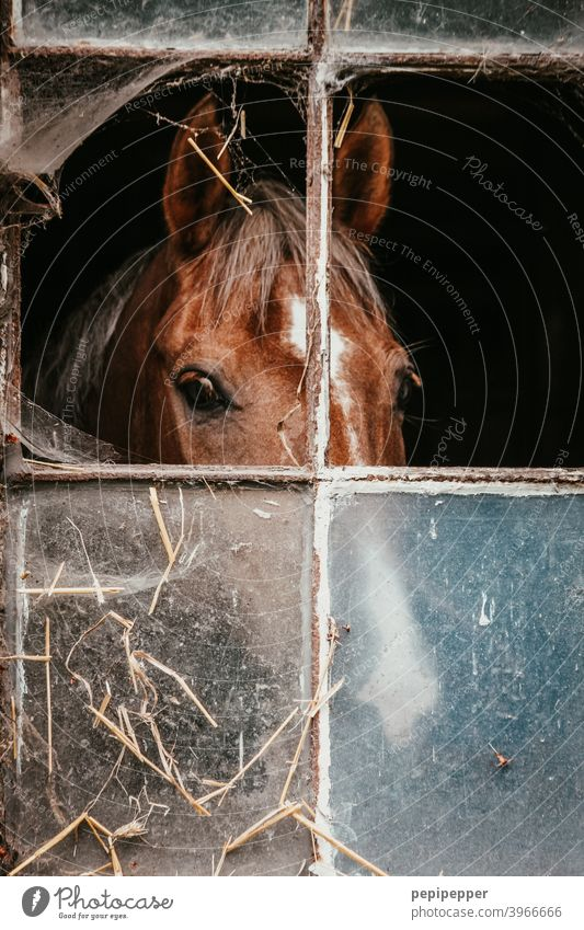 Horse behind a window in a horse stable Animal Farm Stable Barn stables Leisure and hobbies mare Mane stallion Ranch Mammal Ride Head Brown Animal portrait