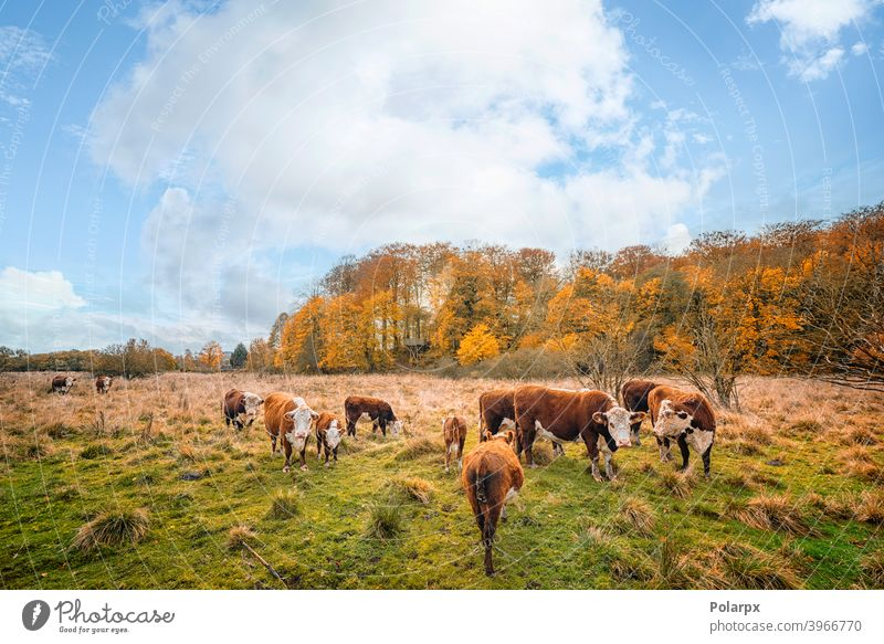 Hereford cattle on a meadow in autumn domestic woods tree ranch colorful heifer forest land cows environment outdoors farmer free range farmland background