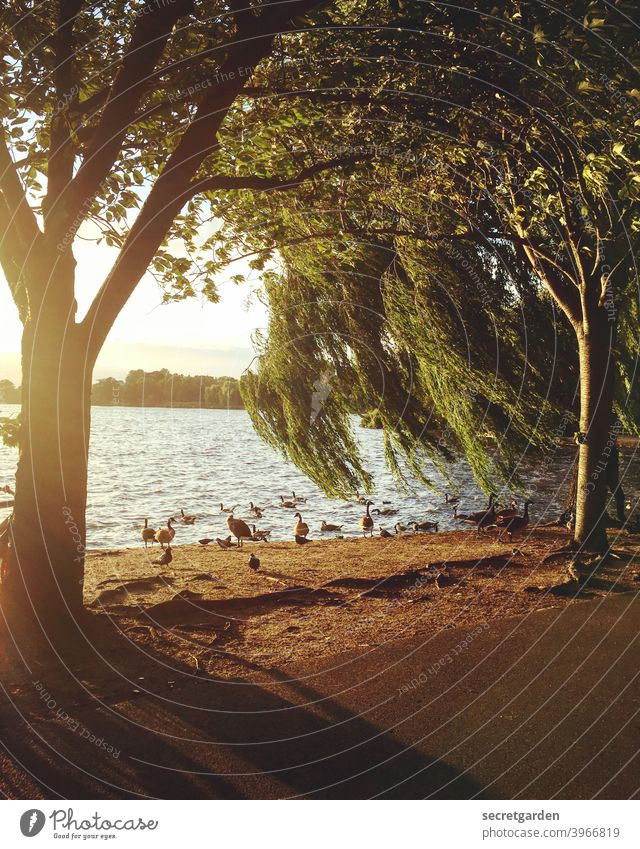 When the wind blows through the weeping willow on Maundy Thursday. Summer Summery Sunset Goose Exterior shot Colour photo Nature Sunlight Beautiful weather