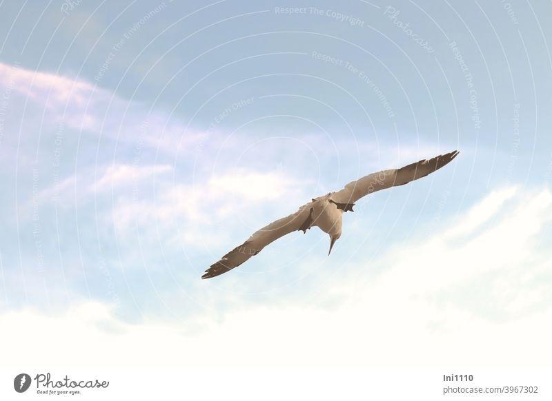 Gannets in gliding flight Northern gannet Bird Wild animal Span Glider flight pointed beak webbed membranes Helgoland Freedom Beautiful weather Blue sky Flying