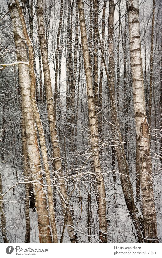 It's winter and these birches are experiencing snow and cold temperature. Nevertheless, timeless nature will definitely cope with winter's blizzards. Picturesque trees and wild nature.