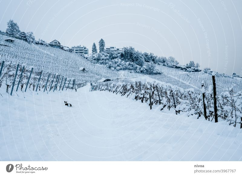 Vineyards in winter with dog vines Winter Dog jack russel terrier snowed in Snowscape Landscape Subdued colour White Jack Russell terrier Small Pet Terrier