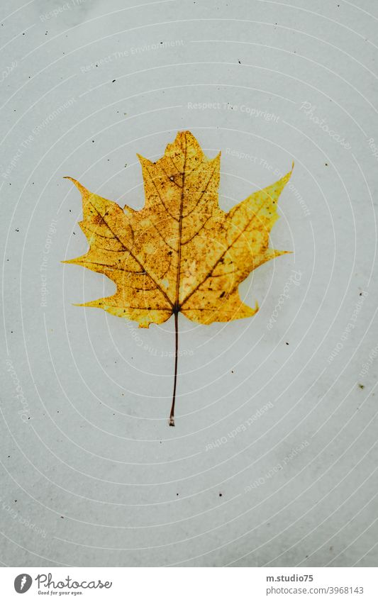 Canadian maple leaf #winter #leaf #canada #snow #nature #outdoors #yellowleaf #cold White cold season