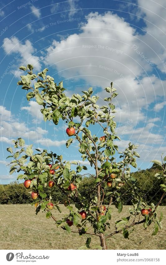 Apple tree in front of blue sky apples Tree Plant Nature eco Ecological Agriculture Red Green Blue Clouds Sky Summer Beautiful weather Landscape Trip free time