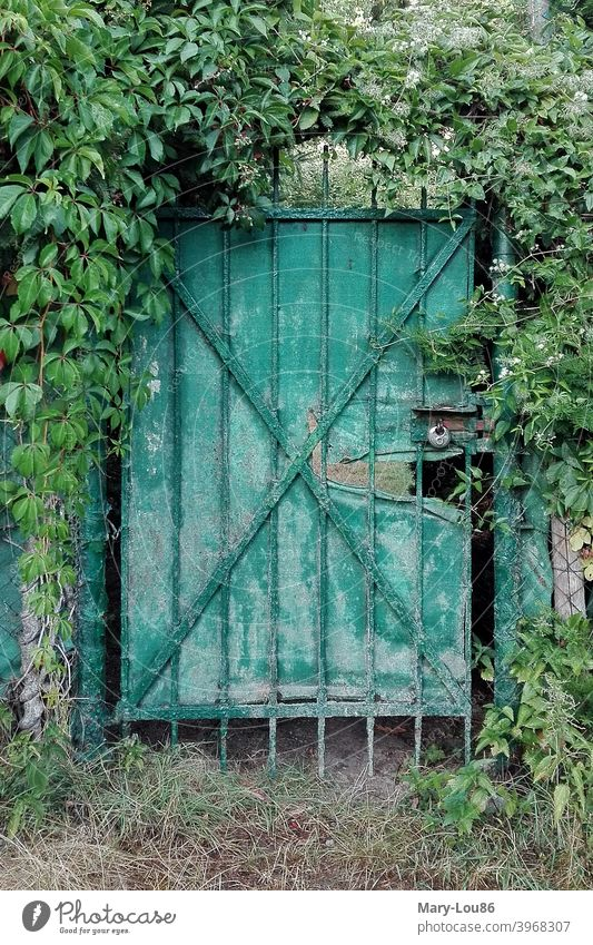 Green door entwined with ivy garden door Goal Lock locked Ivy Old Broken Nature plants Closed Deserted Exterior shot out Structures and shapes Detail Front door