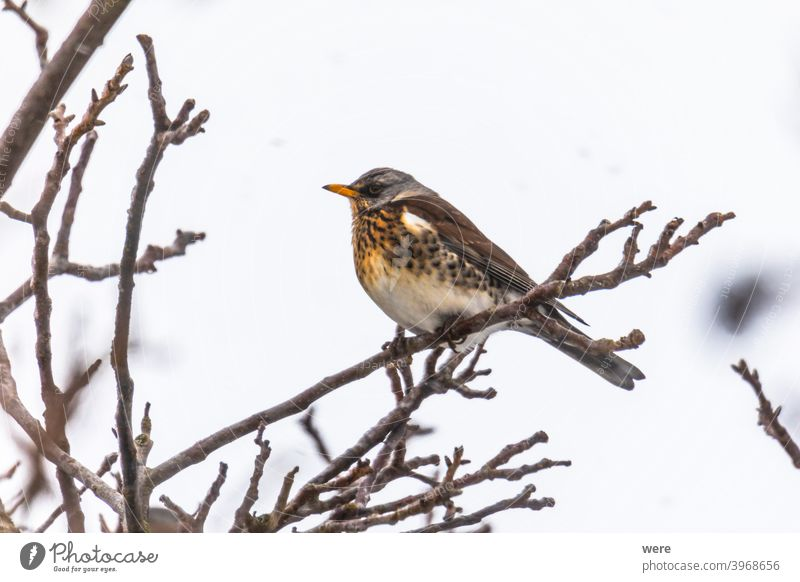 Juniper thrush on a branch in winter with light snowfall Turdus pilaris animal beauty in nature bird cold copy space feathers fly nobody outdoors songbird tree