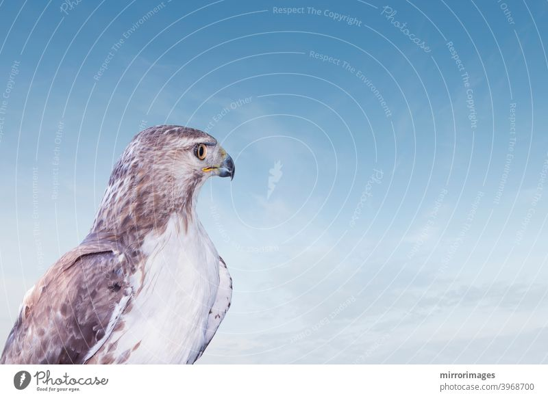 Wild bird of prey red tailed hawk looking into the blue sky strong wildlife photography north america red-tailed hawk animal animals avian beak beautiful beauty