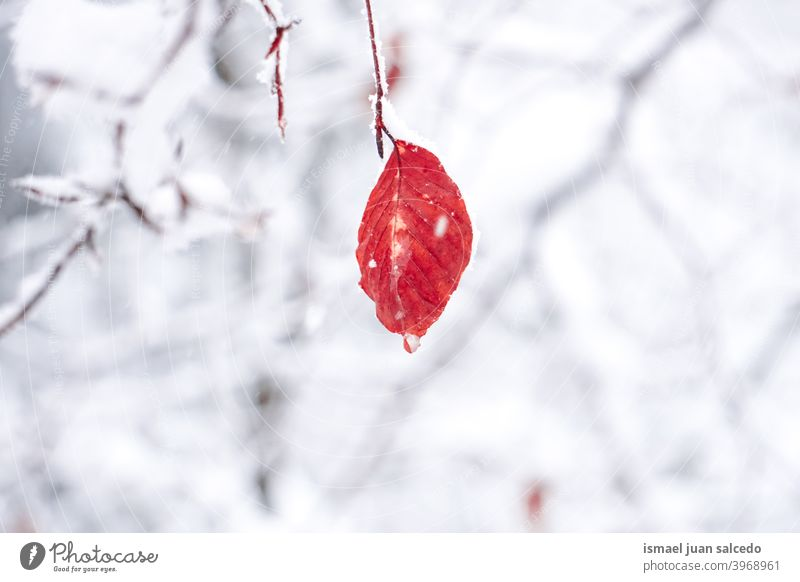 snow on the red leaf in winter season, snowy days branches leaves nature natural textured fragility frost frozen frosty white ice wintertime cold cold days
