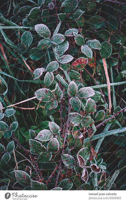 frozen green plant leaves in winter season, cold days grass leaf frost frosty ice nature natural foliage textured freshness outdoors background fragility
