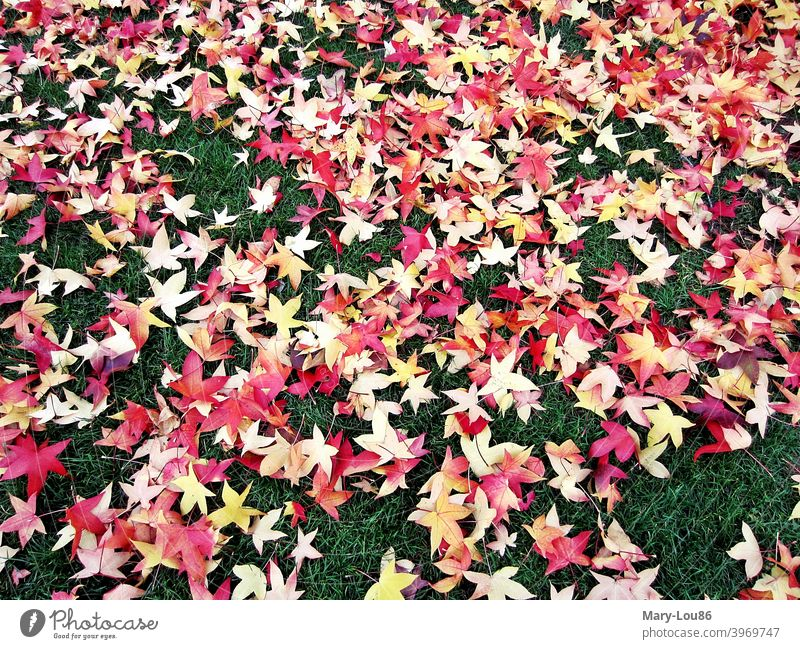 Red star shaped autumn leaves on green lawn Autumn Autumn leaves golden autumn Green foliage Tree trees Leaf Colour Gaudy variegated Yellow Meadow Lawn