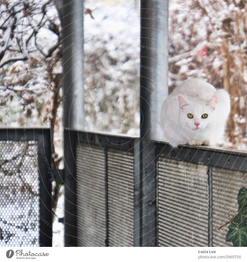 Big city cat, snow white with green eyes or leave me alone. She crouches on the parapet of a small balcony, behind it some winter leaves and snow. Cat large