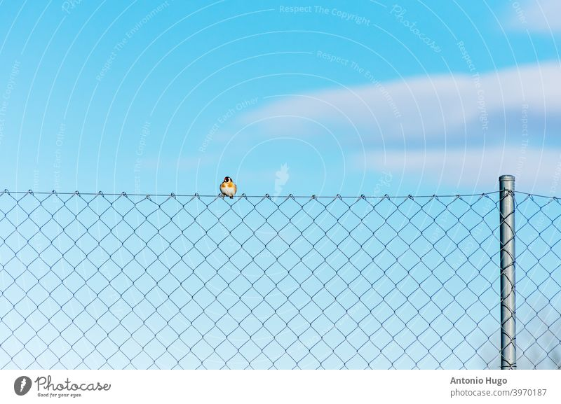 Goldfinch resting on a metal grid. goldfinch birds plate animal nature wild wildlife horizontal feather photography outdoors isolated wing perching small